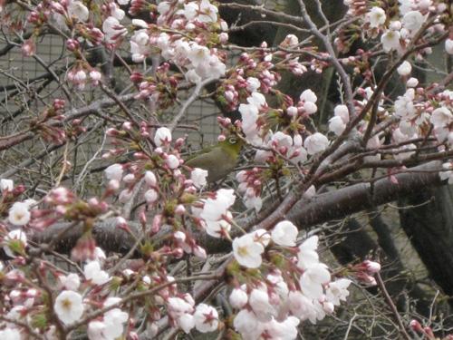 桜に目白.jpg
