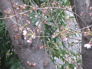 桜開花2014_1.JPG